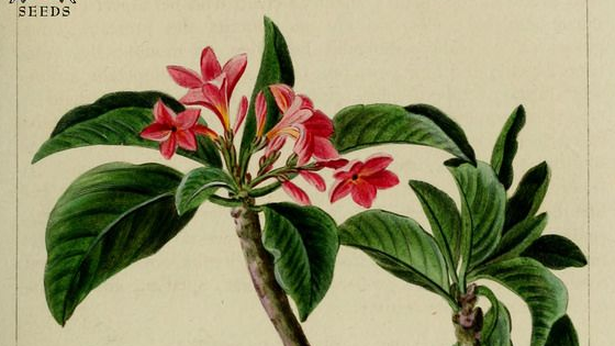 12e46d1bb93d4380112879a15c64cb72--frangipani-tattoo-flower-illustrations-1523051156.jpg
