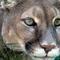 Thumb_reflecting_cougar-1477677032