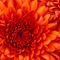 Thumb_chrysanthemum