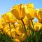 Thumb_tulips