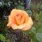 Thumb_rose_1-1411820109