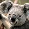 Thumb_koala-1413036865