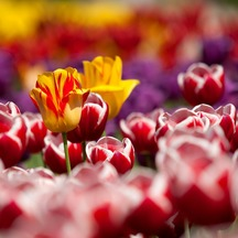Normal_tulips-1445857189