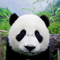 Thumb_panda1