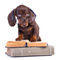 Thumb_stock-photo-61377720-brown-dachshund-puppy-wearing-glasses-and-standing-on-books-1468523307